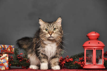 brown with white fluffy cat in the studio on a gray background with a red flashlight for candles and Christmas branches 版權商用圖片