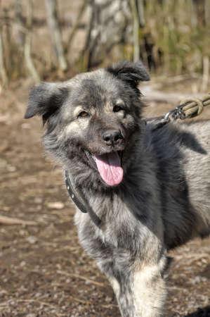 large gray dog crossbreed Caucasian shepherd on a leash