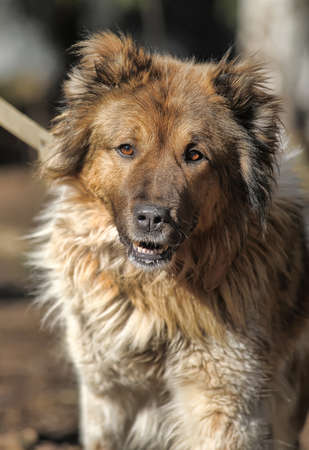 old red and white caucasian shepherd on a leash