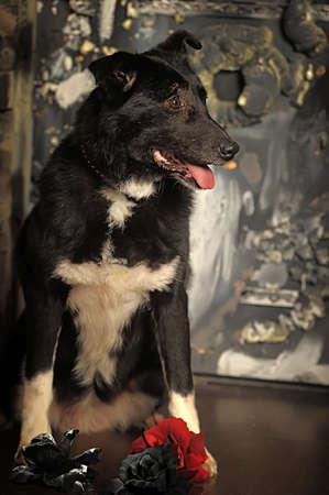 large old black mongrel dog in the studio
