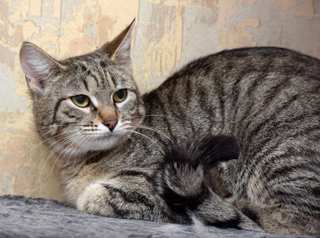 tabby european shorthair domestic cat