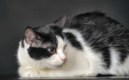 white with black cat in studio