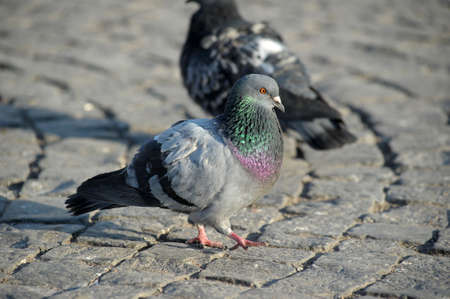 a gray haired and orange eyed pigeon walking on the sidewalk