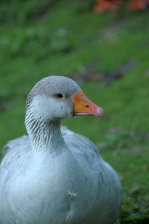white geese on green grass 写真素材