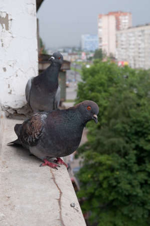 Pigeon birds standing on windowsill