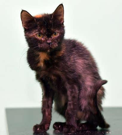 unfortunate tortoiseshell sick cat in an animal shelter Stock Photo