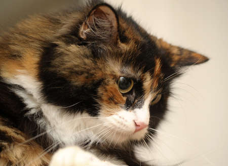 female cat, fluffy cat with three colors.