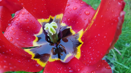 heart of red tulip with raindrops close up Banque d'images