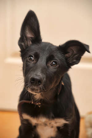 black with white breast puppy mongrel Stockfoto