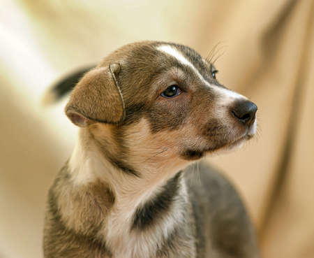 brown and white fold puppy mongrel