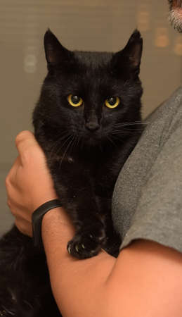 cute domestic black shorthaired cat in arms