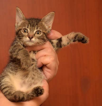 cute little brown tabby shorthair kitten in hands