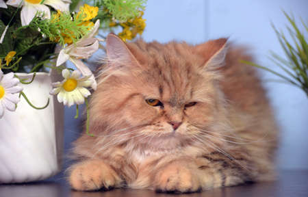 cute fluffy brown persian cat on the table next to potted flowers Standard-Bild
