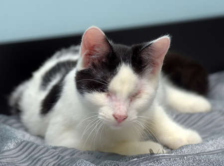 black and white blind cat at the animal shelter