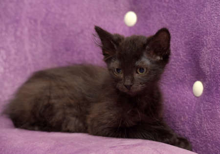 little fluffy black kitten on a lilac background on the couch