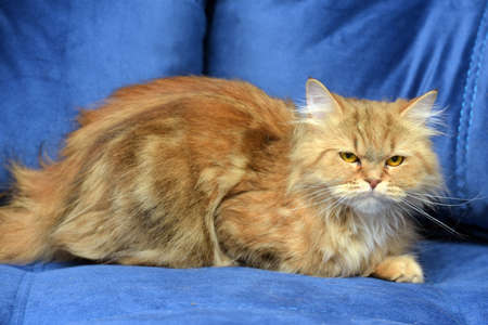red and brown persian cat on the couch