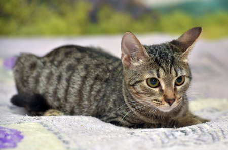 a young beautiful tabby cat, brown and black, lies on the sofa