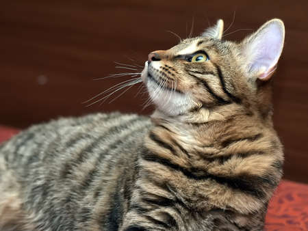 young beautiful tabby cat, brown with black