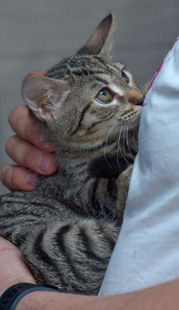 cute tabby kitten three months old in hands close photo