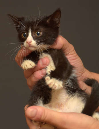 small black and white scared kitten in hands Stockfoto