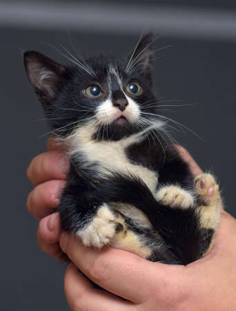 small black and white scared kitten in hands