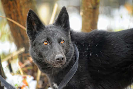 black mongrel dog outdoors in winter on a leash