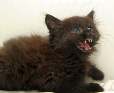 little angry hissing black kitten close up