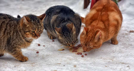 hungry stray cats eat outside in the snow in winter