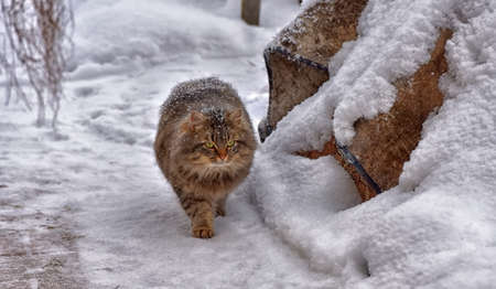 brown fluffy siberian cat on the snow in winter
