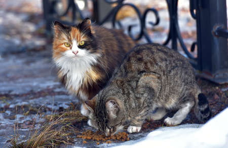 unhappy stray cats eat outside in winter close up Archivio Fotografico