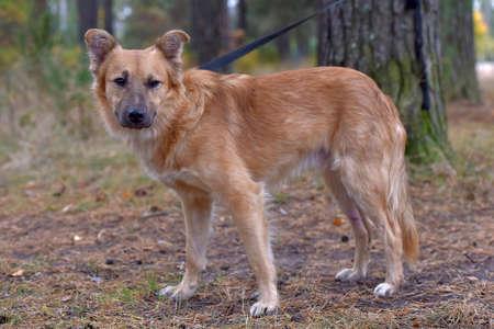 cute ginger mongrel dog at animal shelter Imagens
