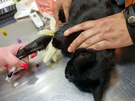 cat being examined by a doctor in a veterinary clinic close up