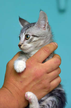 cute gray with white tabby kitten in hands