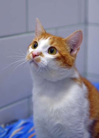 cute red and white cat at the animal shelter