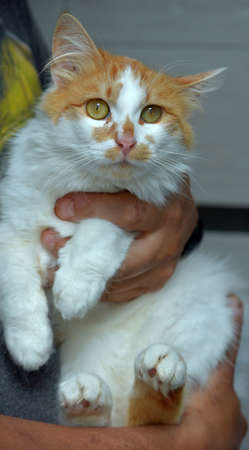 cute fluffy red with white cat in hands close up Imagens