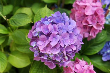 Beautiful blooming lilac and pink hydrangea flowers photo