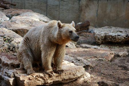 bear sitting on the stones in safari, Ramat Gan