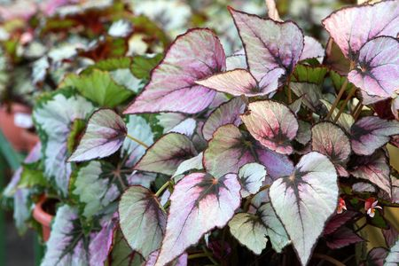 Close up of begonia leaves at market Stock Photo