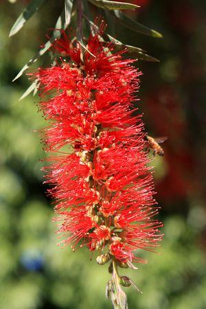 callistemon citrinus: Blooming of red bottle-brush tree (Callistemon) flower Stock Photo