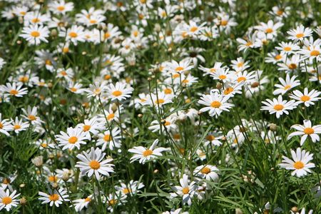 Close up of camomile flowers in the field. Stock Photo