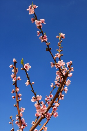 almond bud: Branch with almond pink flower in bloom, Israel Stock Photo