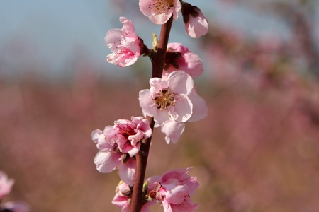 Branch with almond pink flower in bloom, Israel Stock Photo