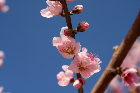 Branch with almond pink flower in bloom, Israel photo