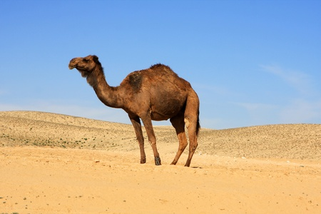 Photo of camel in the Negev desert, Israel