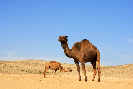 Photo of camels in the Negev desert, Israel Stock Photo