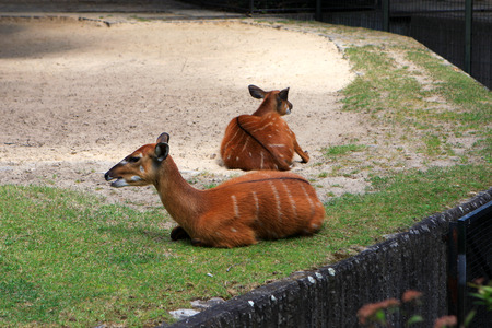 capreolus: Roes in the Berlin Zoo Germany
