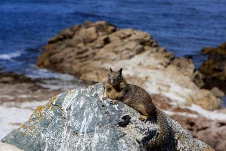 mile: Ground squirrel at 17 Mile Drive, Pebble Beach, California.