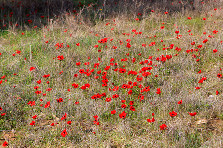 Field of red anemones, Shokeda forest, Israel Banco de Imagens