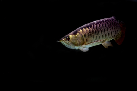 Asian Arowana fish on black background. Stock Photo - 17476561