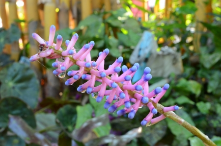 ink blue Aechmea, apocalyptica gamesopela bromeliad flower photo